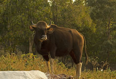 Female Indian Gaur Standing Royalty Free Stock Photography