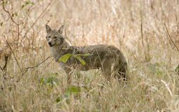 Female Indian Jackal in its habitat Stock Photo