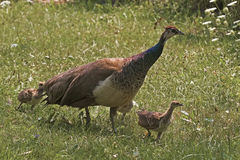 Female Indian Peafowl, Pavo cristatus, with young Stock Photo
