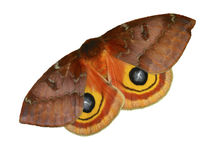 Female IO Moth. On white background Stock Photography