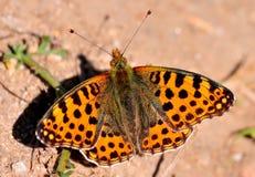 Female of Issoria lathonia stock photography