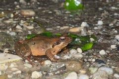 Female of Italian agile frog (Rana latastei) full of eggs, reaching the breeding site, Italy Royalty Free Stock Photo