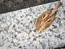 Female Italian sparrow Royalty Free Stock Photo