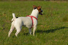 Female Jack Russell Terrier. Stock Photography