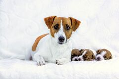 Free Female Jack Russell Terrier With Three Puppies On A White Blanket, Horizontal. Mom`s Day, Maternity Royalty Free Stock Images - 180712799