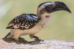 Female Jackson's Hornbill - Tockus jacksoni stock photo