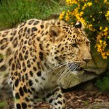Female Jaguar Stock Photography
