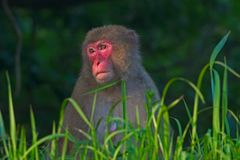 Female Japanese macaque sitting in long grass Royalty Free Stock Image