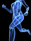 Female jogger. 3d rendered illustration of a running female skeleton Stock Photography