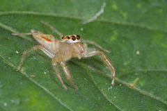 Female jumping spider Stock Image
