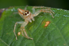 A female jumping spider Royalty Free Stock Images