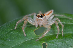 A female jumping spider Royalty Free Stock Photos