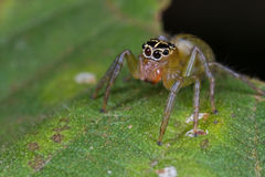 A female jumping spider Stock Photography