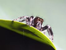 Female jumping spider. Waiting catch stock images