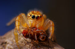 Female Jumping spider Close-up Stock Photos