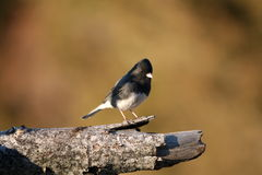 Female junco Royalty Free Stock Images