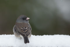 Female Junco in snow Royalty Free Stock Photography