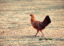 Female Jungle Fowl Royalty Free Stock Photo