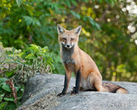 Female Juvenile Red Fox. Juvenile Female Red Fox sitting on a boulder Stock Photography