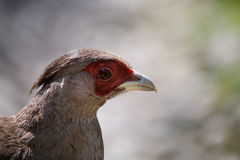 The female Kalij pheasant (Lophura Leucomelanos) Stock Image