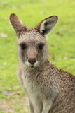 Female Kangaroo - Closeup Stock Images