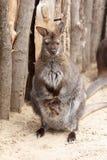 Female kangaroo with a cute baby calf Royalty Free Stock Image