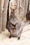 Female kangaroo with a cute baby calf Royalty Free Stock Photo