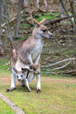 Female kangaroo with a joey. In her pouch, Phillip Island Wildlife Park, Australia Stock Photography