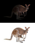 Female kangaroo and joey. In the dark and white background Royalty Free Stock Images