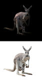 Female kangaroo and joey Stock Photo