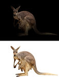Female kangaroo and joey. In the dark and white background Royalty Free Stock Photography