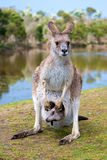 Female kangaroo with a joey in her. Pouch, Phillip Island Wildlife Park, Australia Stock Photography