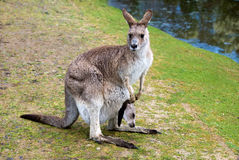 Female kangaroo with a joey in her pouch Stock Image