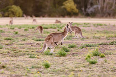 Female kangaroo with little joey Stock Photo