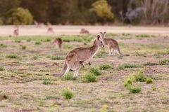 Female kangaroo with little joey Stock Photo