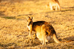 Female kangaroo with little joey Stock Photos