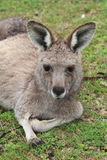 Female Kangaroo - Relaxing - Closeup Royalty Free Stock Photos