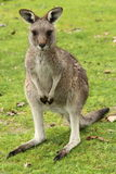 Female Kangaroo. Small Australian kangaroo, sometimes mistaken for a wallaby, poised looking around after feeding on some fresh green grass in Grampians National Royalty Free Stock Photos