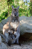 Female of kangaroo with small baby in bag Stock Photography
