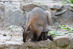 Female of kangaroo with small baby in bag Royalty Free Stock Images