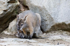 Female of kangaroo with small baby in bag Stock Image