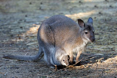 Female of kangaroo with small baby in bag Stock Images