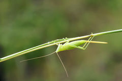 Female katydid Royalty Free Stock Photos