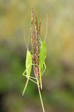 Female katydid Stock Photography