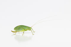 Female katydid with ovipositor Stock Photos