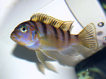 Female Kenyi Cichlid (BABY) Stock Images