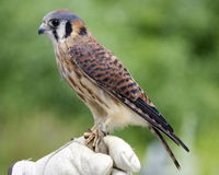 Female Kestrel. An American Kestrel (Falco sparverius) on the glove of a falconer Stock Photo
