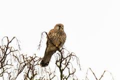 Female kestrel Falco tinnunculus sitting in tree Stock Image