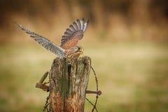 Female kestrel feeding Royalty Free Stock Photos