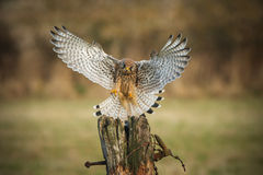Female kestrel on final approach Royalty Free Stock Image
